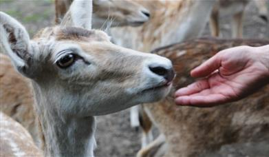 Feeding the deer by hand at Maryon Wilson Animal Park in Charlton, Greenwich.