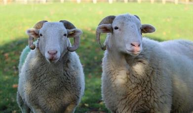 Two sheeps on the grounds of Mudchute Park & Farm, looking straight at the camera.