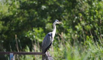 A grey heron sittiing on the fence of Greenwich Peninsual Ecology Park lake.